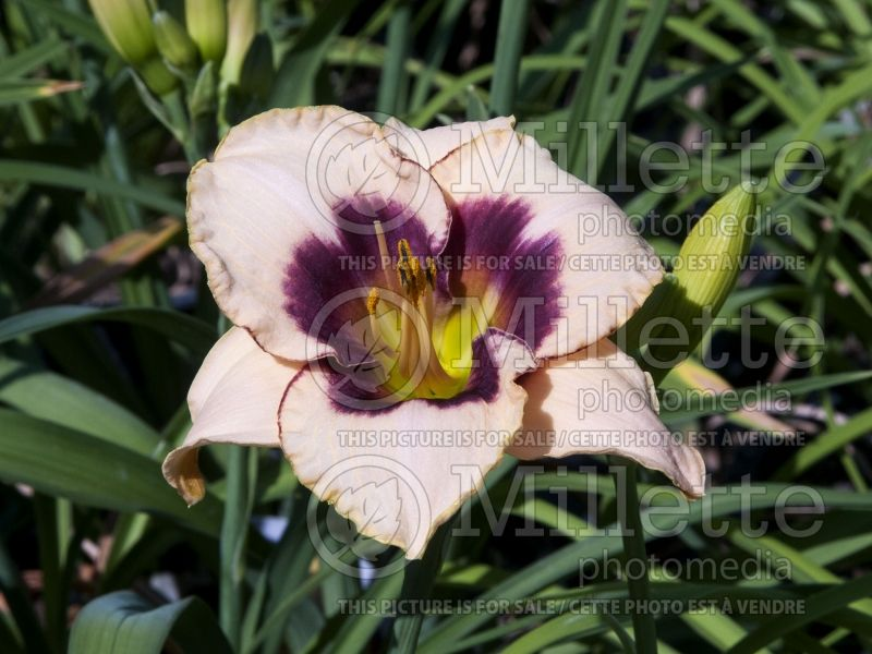 Hemerocallis Blueberry Candy (Daylily) 2