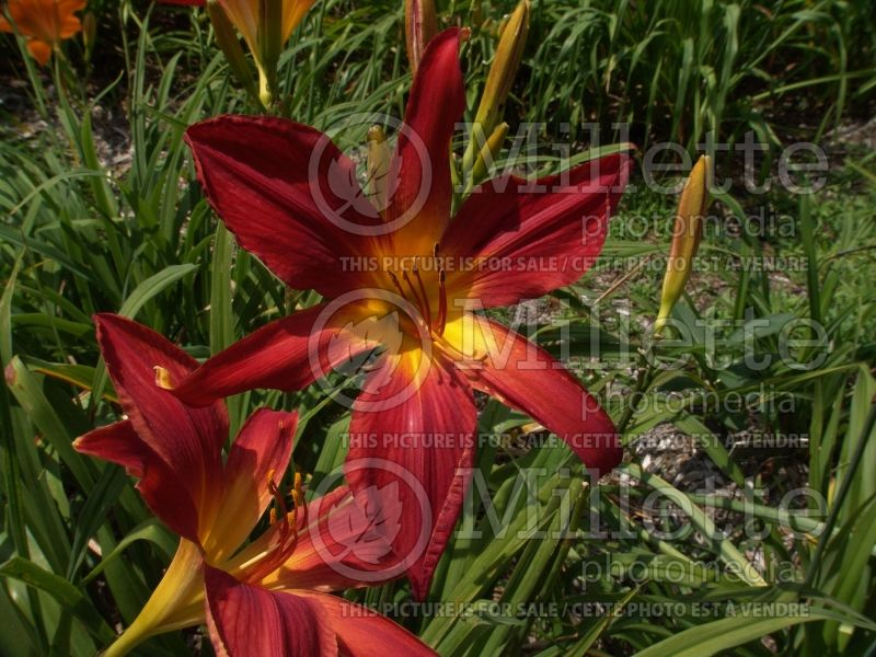 Hemerocallis Christmas Ribbons (Daylily) 4