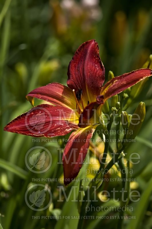 Hemerocallis Christmas Ribbons (Daylily) 1