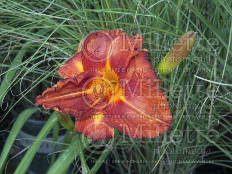 Hemerocallis Fire King (Daylily) 3
