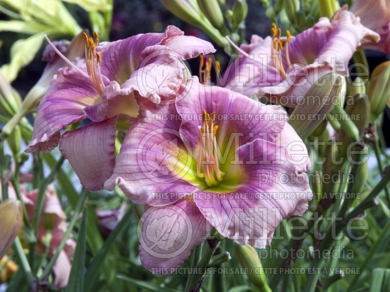 Hemerocallis Janice Brown (Daylily) 3