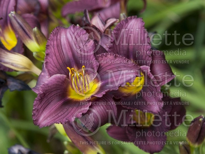 Hemerocallis Little Grapette (Daylily) 3