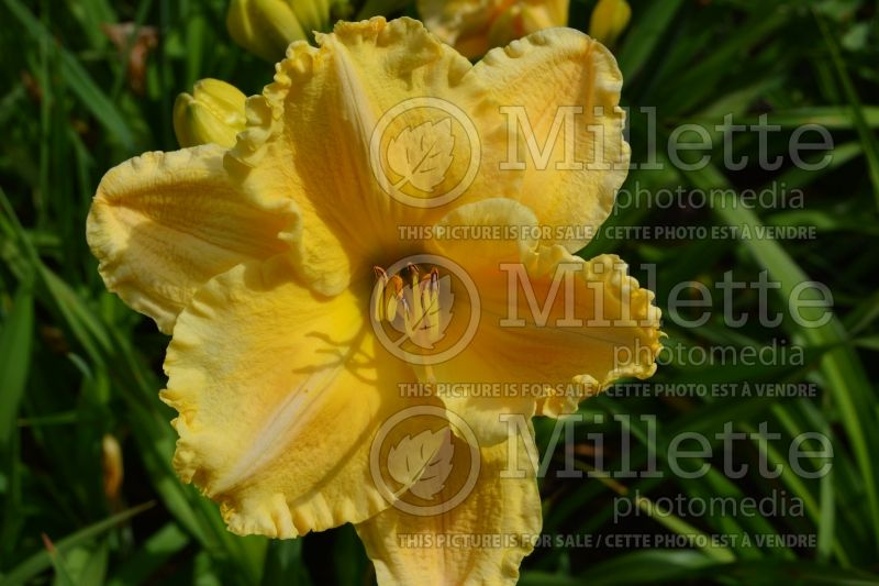Hemerocallis Majestic Move (Daylily) 1