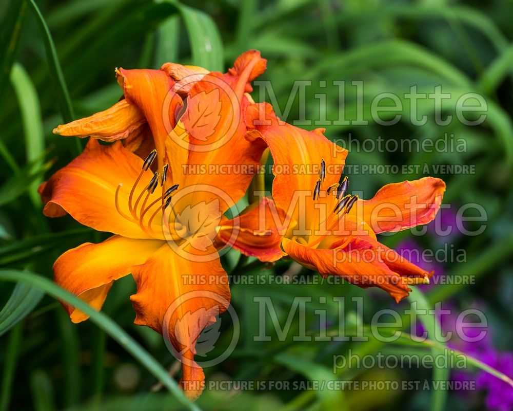 Hemerocallis Primal Scream (Daylily) 3
