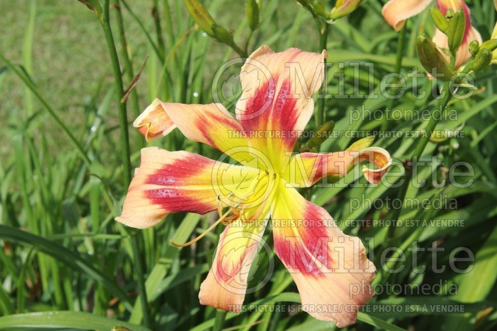 Hemerocallis Wild And Wonderful (Daylily) 2