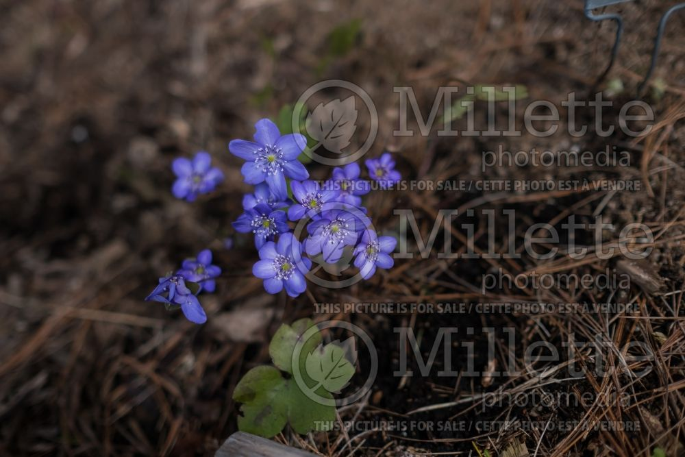 Hepatica Blue Jewel (Liverwort) 1