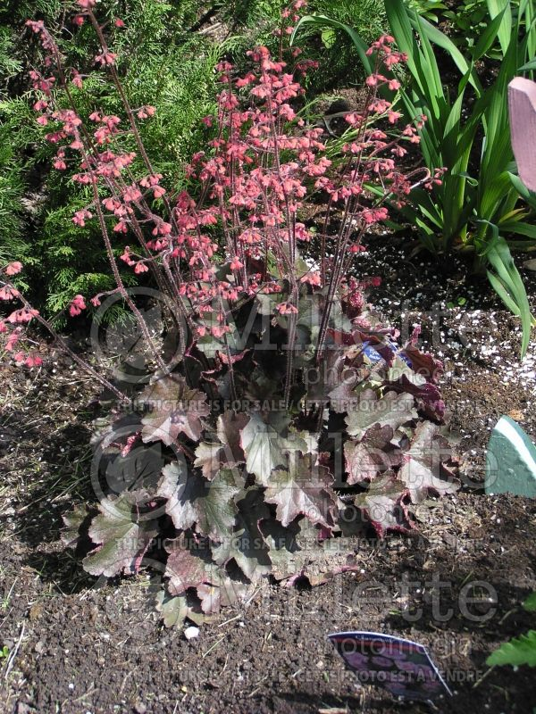 Heuchera Cherries Jubilee (Coral Bells) 2