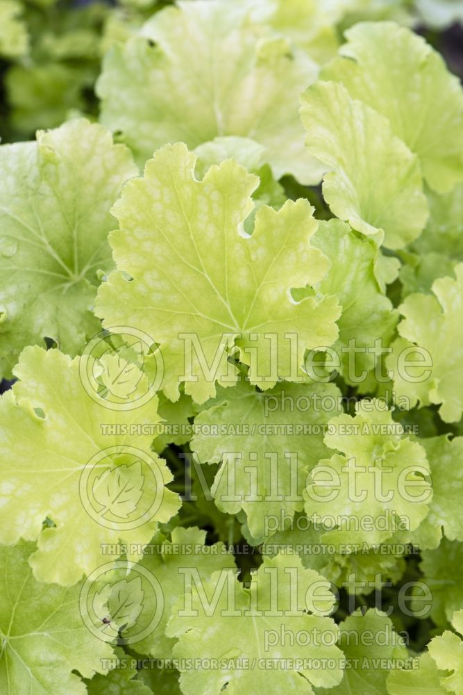Heuchera Dolce Apple Twist (Coral Bells heuchere) 3 Heuchera Dolce Apple Twist - Coral Bells heuchere - Newly emerging leaves have red veining that lightens with age. Chartreuse yellow leaves have wav