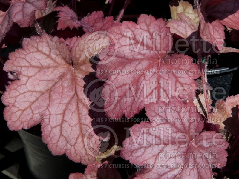 Heuchera Georga Peach (Coral Bells) 1