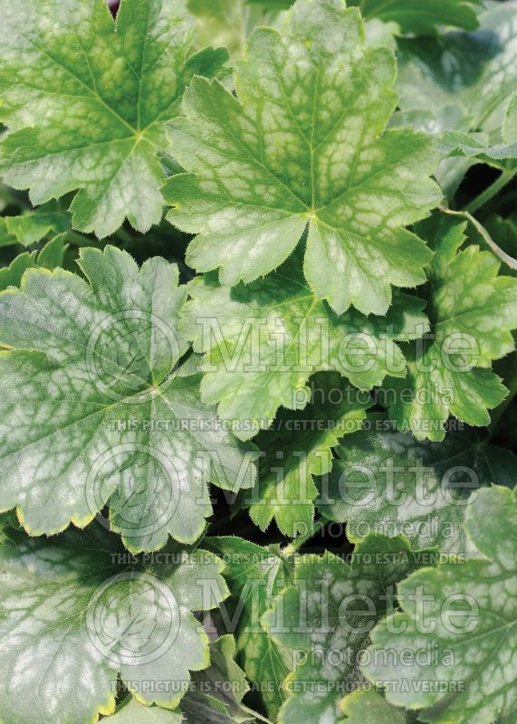 Heuchera Kira Green Tea (Coral Bells) 1