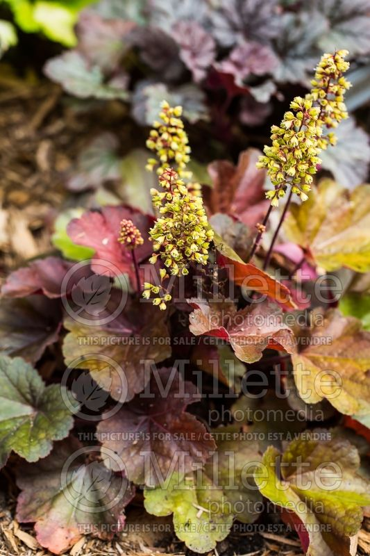 Heuchera Little Cutie Blondie (Coral Bells) 3