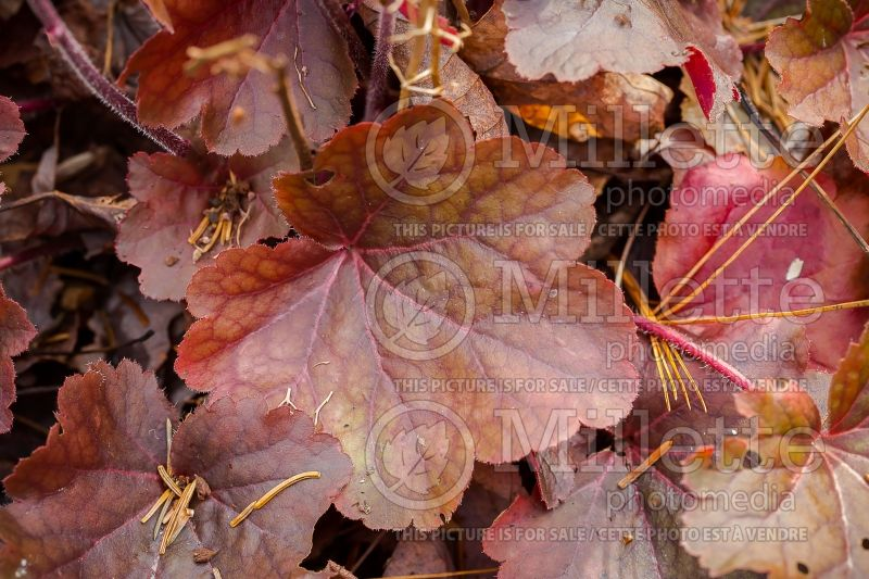 Heuchera Little Cutie Blondie (Coral Bells) 4