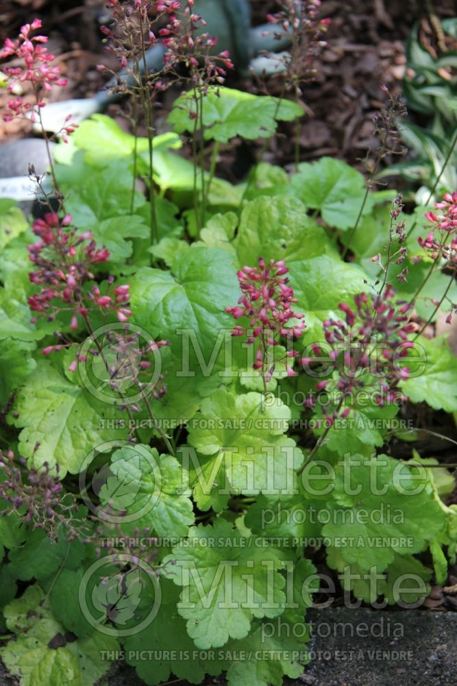 Heuchera Little Cutie Sweet Tart (Coral Bells) 6