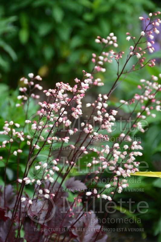 Heuchera Little Cuttie Coco (Coral Bells) 3