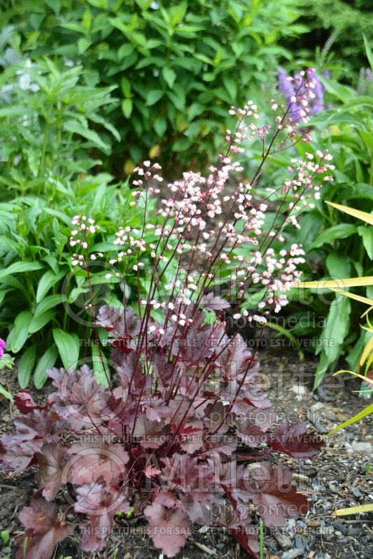 Heuchera Little Cuttie Coco (Coral Bells) 2
