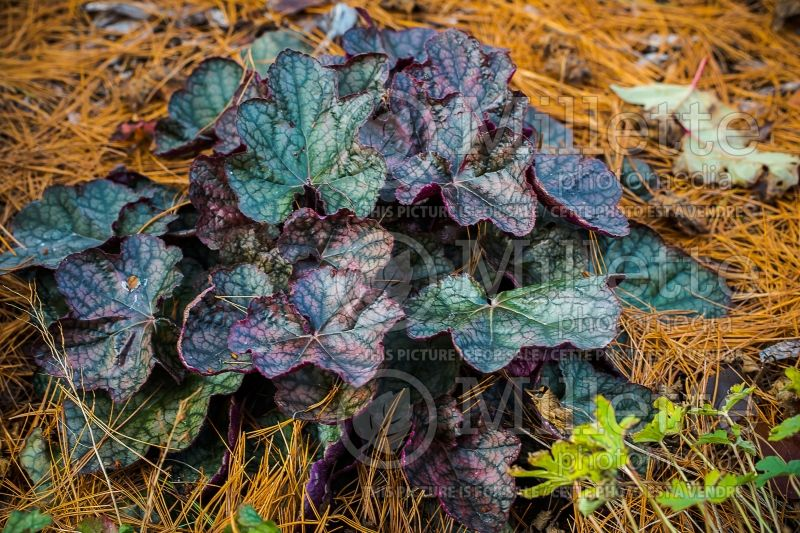Heuchera Harvest Burgundy (Coral Bells) 2