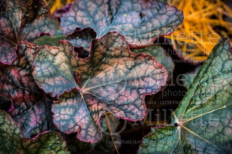 Heuchera Harvest Burgundy (Coral Bells) 3