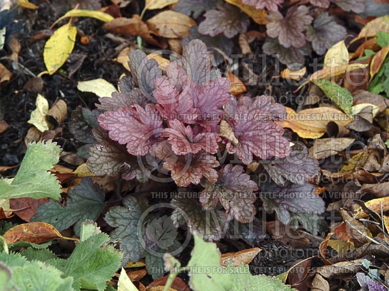 Heuchera Peach Flambe (Coral Bells) 2