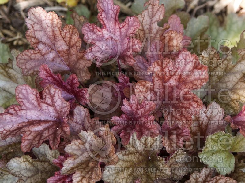 Heuchera Peach Flambe (Coral Bells) 3