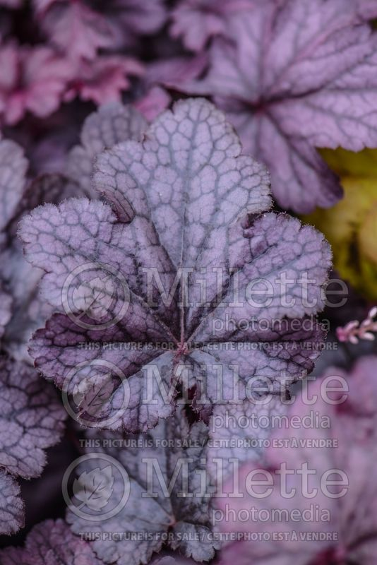 Heuchera Plum Pudding (Coral Bells) 3