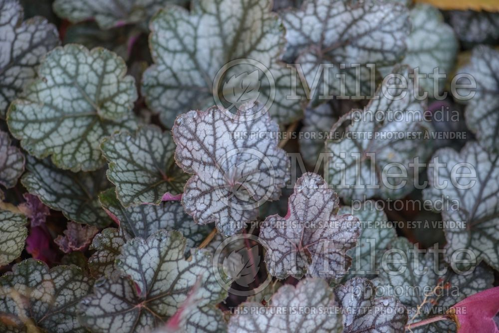 Heuchera Geisha's Fan (Coral Bells) 2