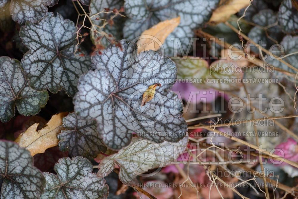 Heuchera Geisha's Fan (Coral Bells) 3