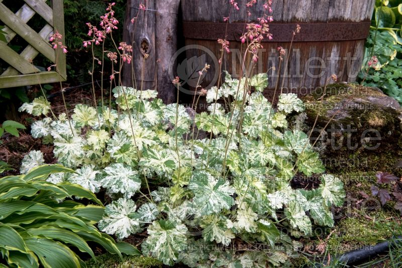 Heuchera Snow Angel (Coral Bells) 4