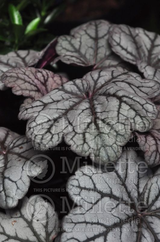 Heuchera Sugar Plum (Coral Bells)  3