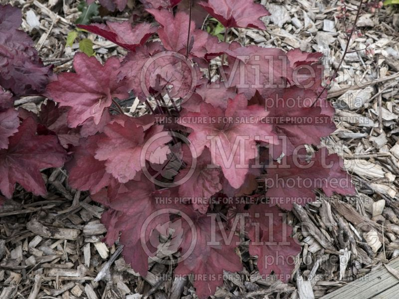 Heuchera Carnival Candy Apple (Coral Bells) 2