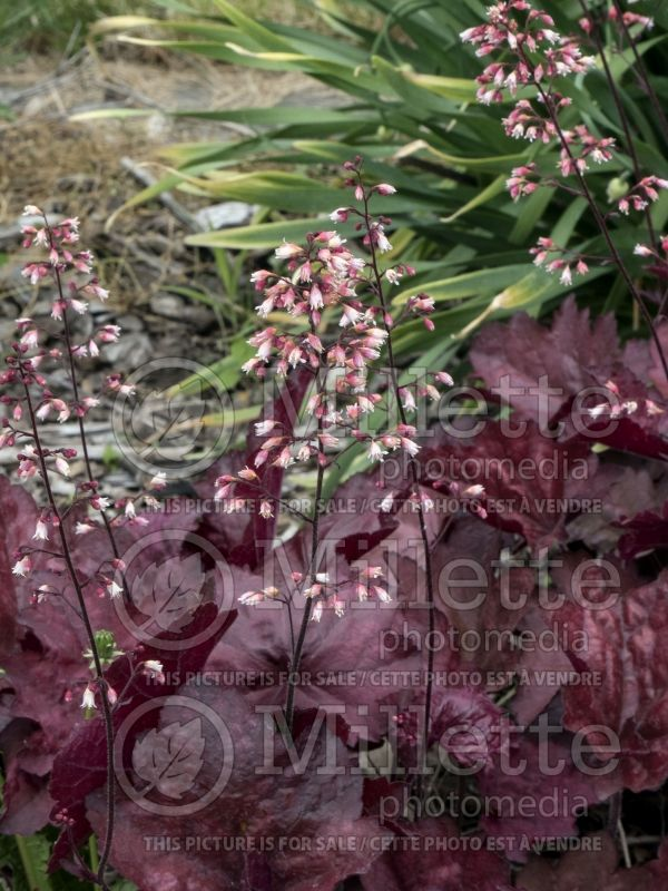 Heuchera Carnival Candy Apple (Coral Bells) 4