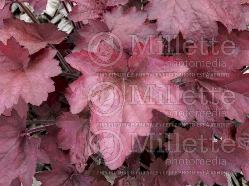 Heuchera Carnival Candy Apple (Coral Bells) 3