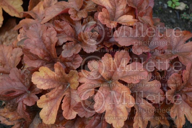 Heucherella Buttered Rum (Foamy Bells) 3