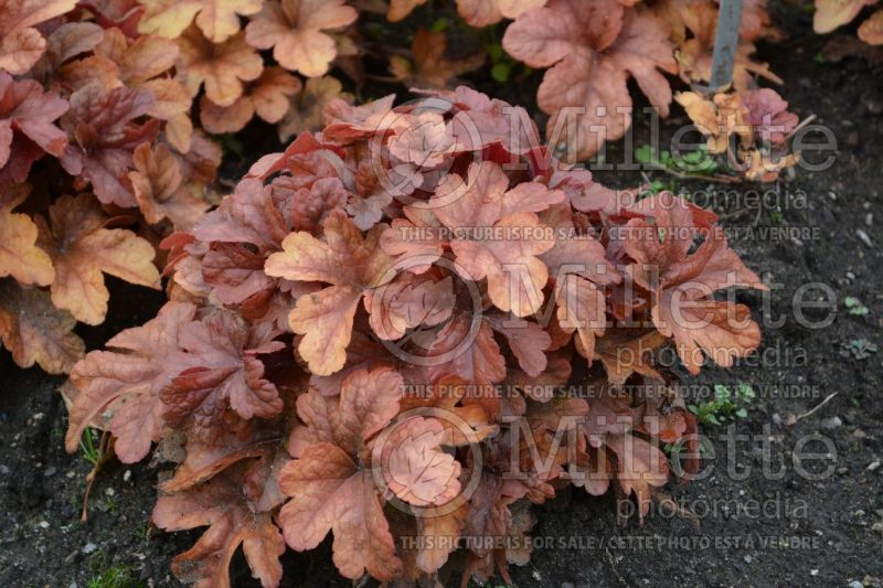 Heucherella Buttered Rum (Foamy Bells) 4