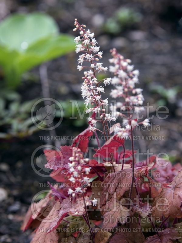 Heucherella Redstone Falls (Foamy bells) 2