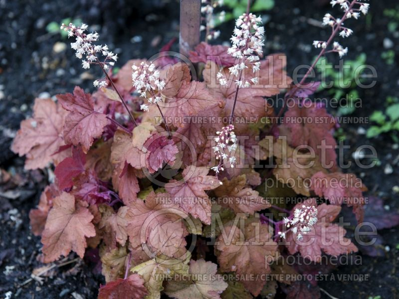 Heucherella Redstone Falls (Foamy bells) 3