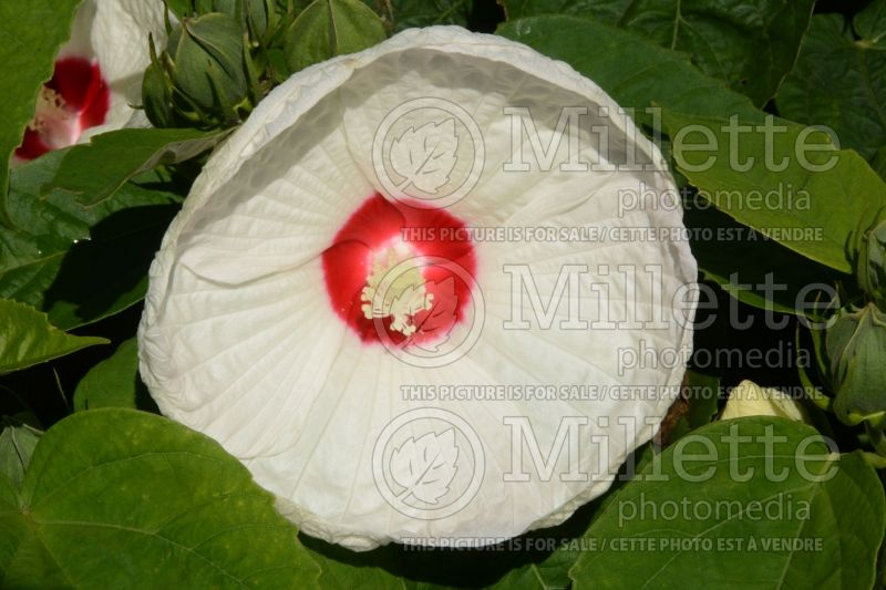Hibiscus Honeymoon White with Eye (Hibiscus African Rose Mallow)  1