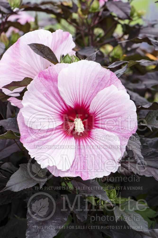 Hibiscus Starry Starry Night (African Rose Mallow) 1