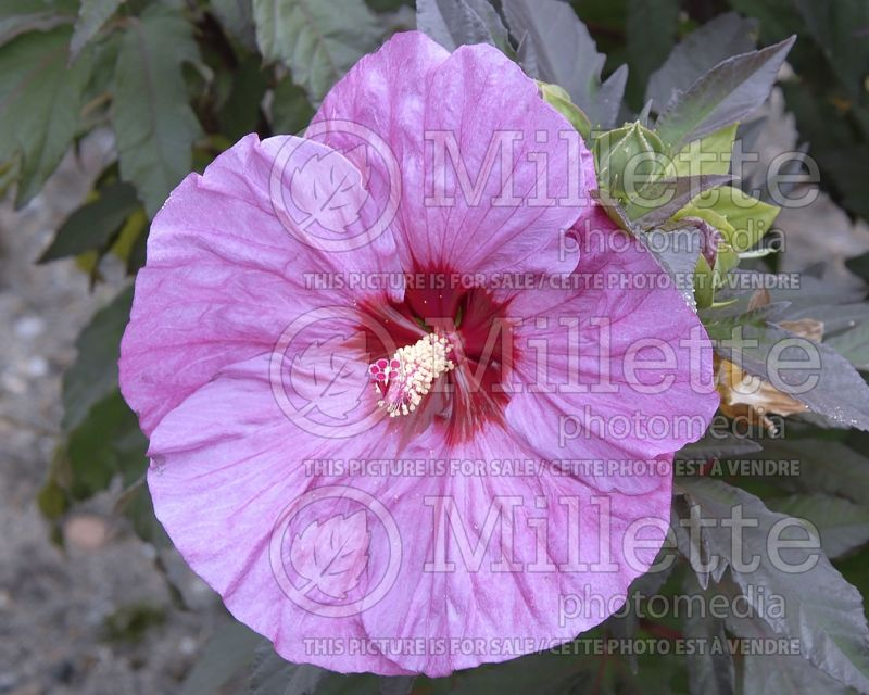 Hibiscus Summerific Berry Awesome (Hibiscus African Rose Mallow)  1