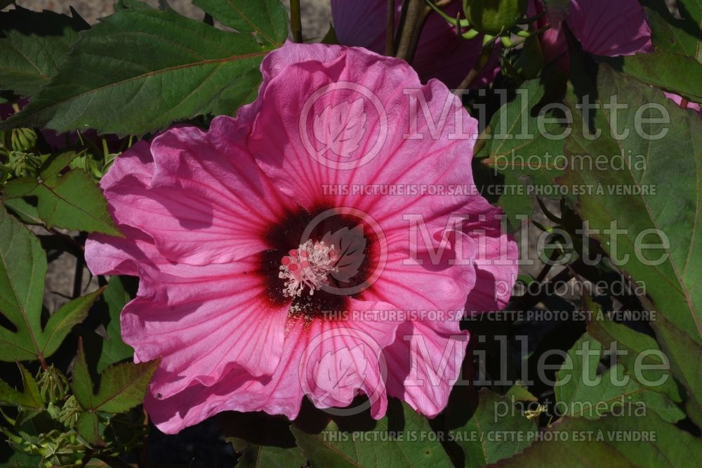 Hibiscus Summerific Candy Crush (Rose Mallow rose of Sharon) 1