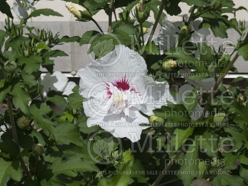 Hibiscus Minfren Bali (Hibiscus rose of Sharon)  1