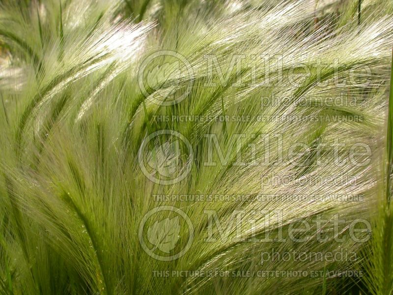 Hordeum jubatum (Squirrel-tail Grass Ornamental Grass) 3