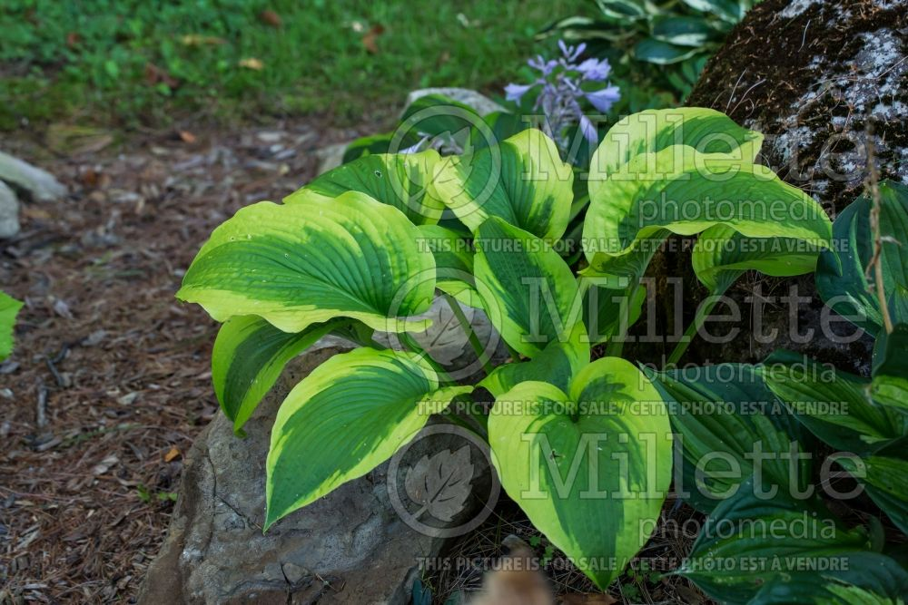 Hosta Afterglow (Hosta funkia august lily) 2