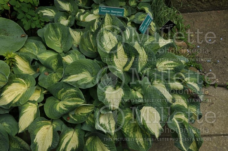 Hosta American Masterpiece (Hosta funkia august lily) 1