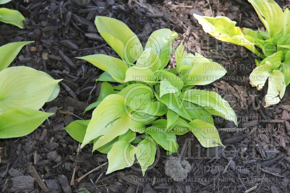 Hosta Appletini (Hosta funkia august lily) 2