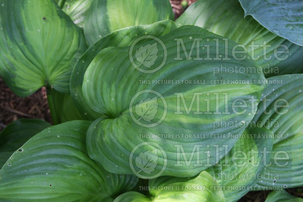 Hosta Avocado (Hosta funkia august lily) 3