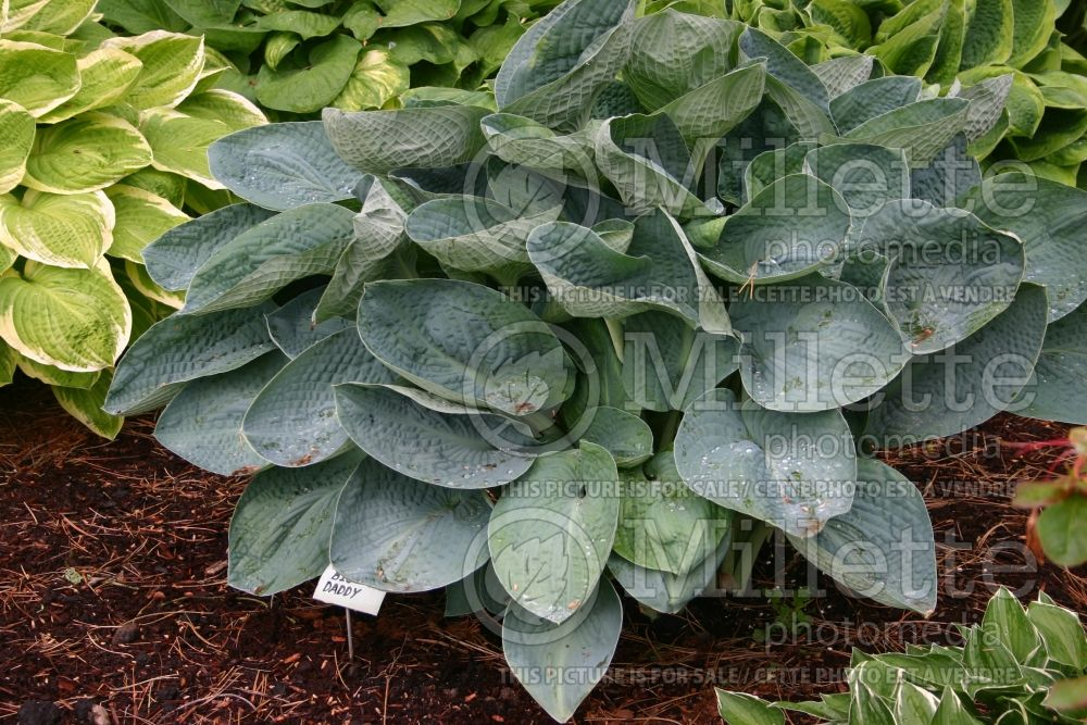 Hosta Big Daddy (Hosta funkia august lily) 2