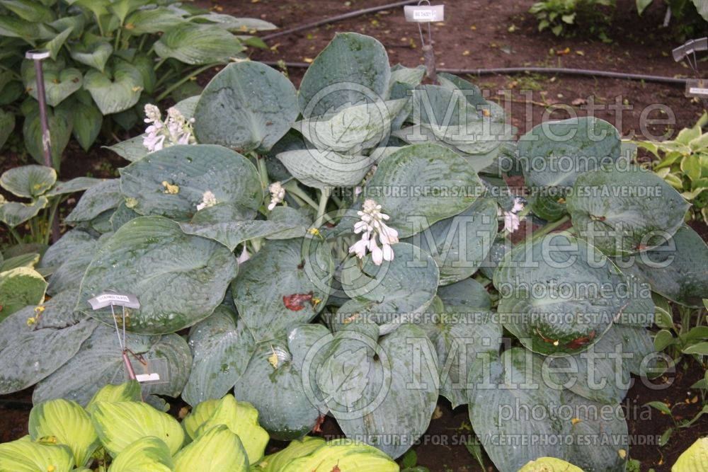 Hosta Big Daddy (Hosta funkia august lily) 3