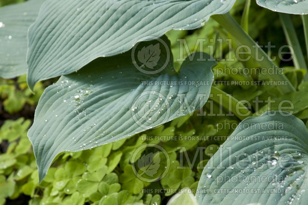 Hosta Big Daddy (Hosta funkia august lily) 6