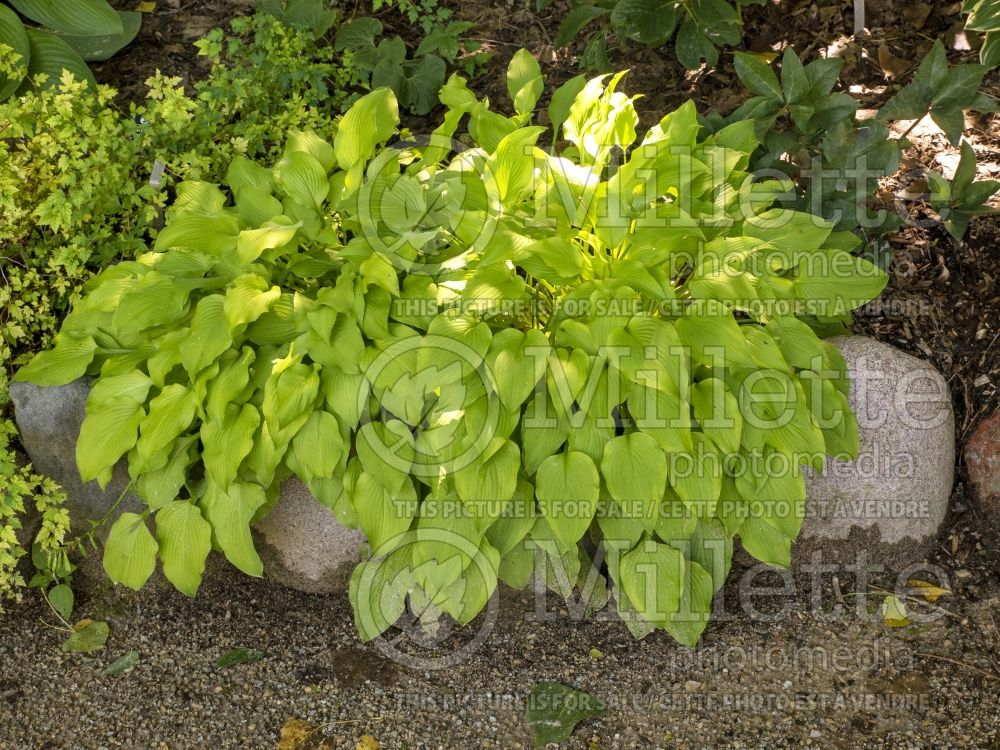 Hosta Blonde Elf (Hosta funkia august lily)  2