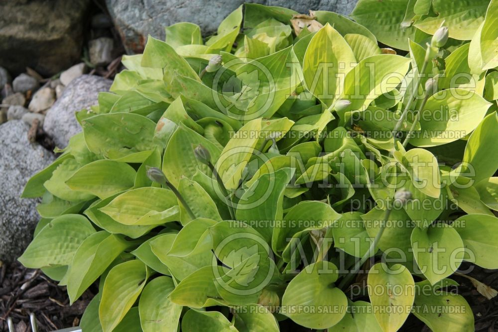 Hosta Blood, Sweat and Tears (Hosta funkia august lily) 1